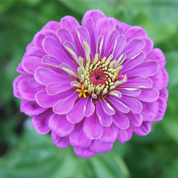 Zinnia 'Benary's Giant Lilac'