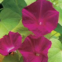 Morning Glory 'Scarlet O'Hara'