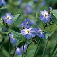 Browallia 'Blue Lady' Organic