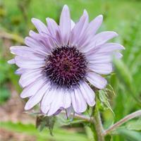Berkheya - Purple Organic