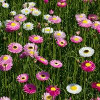 Rhodanthe 'Memories' Organic