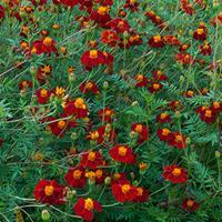 Marigold 'Cinnabar' Organic
