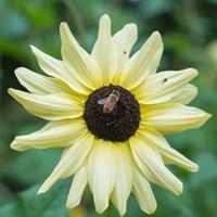 Sunflower 'Italian White' Organic