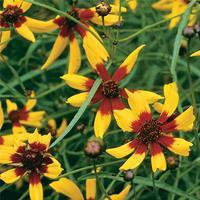 Coreopsis 'Tiger Stripe'
