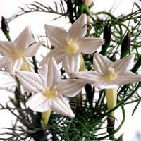 Cypress Vine - White