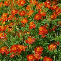 Marigold - Signet 'Paprika'