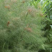 Fennel 'Smokey Bronze' Organic