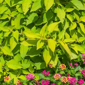 Salvia 'Golden Delicious'