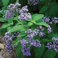 Heliotrope 'Old Fashioned'