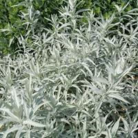 Artemisia 'Valerie Finnis'