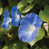 Morning Glory 'Clarke's Heavenly Blue'