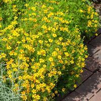 Marigold - Signet 'Lemon Gem'