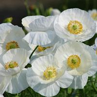 Poppy - Shirley 'Bridal Silk'