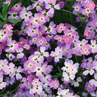 Stock - Virginia 'Spring Sparkle'