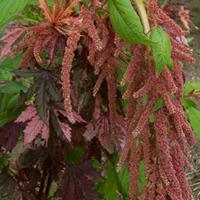Amaranth 'Coral Fountain' Organic