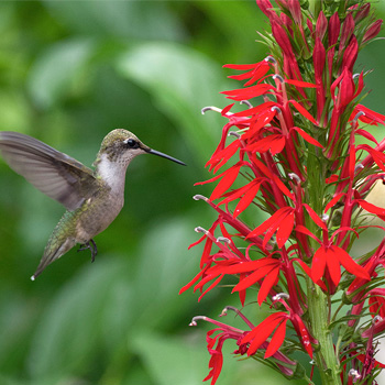 Cardinal Flower Lobelia Cardinalis Native Plants Select Seeds