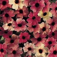 Black-eyed Susan Vine 'African Sunset'