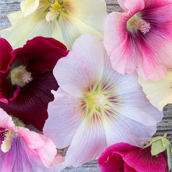 Hollyhock 'Dreamy Pastels Mix'