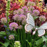Allium 'Summer Beauty'