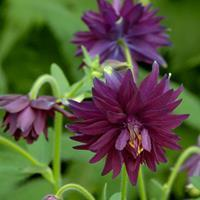 Columbine 'Miss M.I. Huish'
