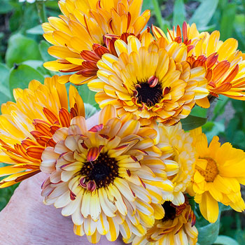 Calendula 'Solar Flashback Mix' Organic