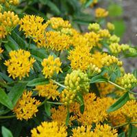 Butterfly Weed 'Hello Yellow'