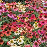 Coneflower 'Cheyenne Spirit Mix'