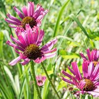 Coneflower 'Rocky Top'