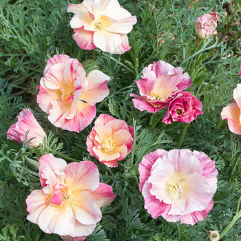 California Poppy 'Bridal Bouquet'