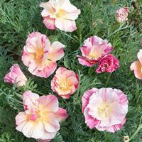 California Poppy 'Bridal Bouquet'