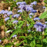 Mistflower - Blue
