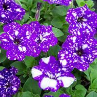 Petunia 'NightSky®'