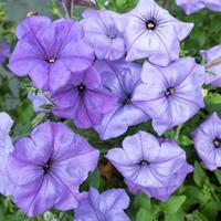 Petunia 'Evening Scentsation™' F1