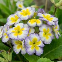 Primrose 'Paris 90 Mix'