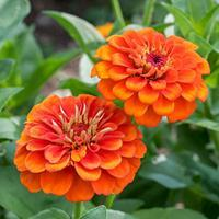 Zinnia 'Queeny Orange'