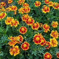 Marigold 'Legion of Honor'