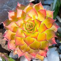 Sempervivum Chick Charms® 'Gold Nugget'