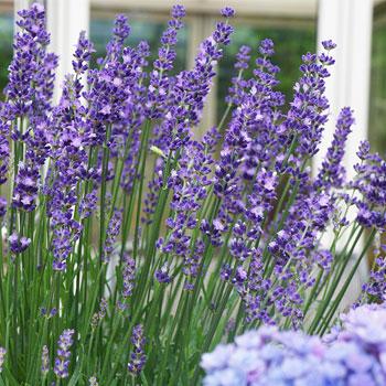 Lavender 'Big Time Blue'