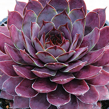 Sempervivum Chick Charms® 'Plum Parfait'