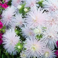China Aster 'Starlight Light Pink'