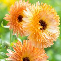 Calendula 'Orange Flash'