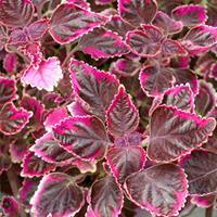 Coleus Stained Glassworks™ 'Trailing Plum'