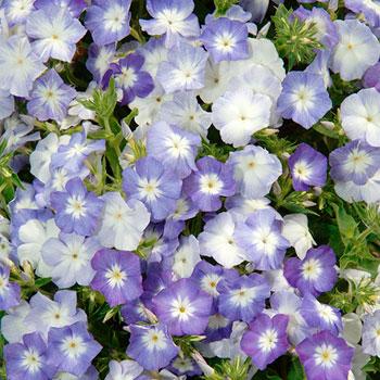 Phlox 'Lavender Beauty'