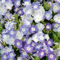 Phlox 'Lavender Beauty'
