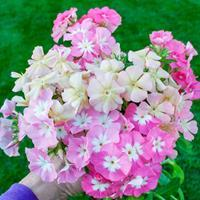 Phlox 'Coral Reef Mix'
