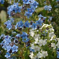 Chinese Forget Me Not 'Chill Out'
