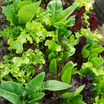 Lettuce 'Philosopher's Mix' Organic