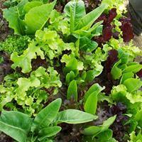 Lettuce 'Philosopher's Mix' Organic