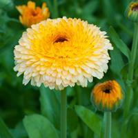 Calendula 'Pacific Apricot Beauty'
