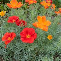 California Poppy 'Rouge'